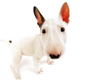 和孙红雷撞脸的狗——斗牛梗-狗狗品种