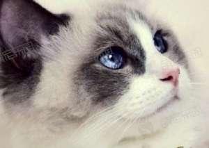 饲养一只布偶猫每月需要多少钱?